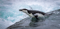 Chinstrap Penguin breaking the wave