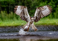 Osprey Catches Brown Trout
