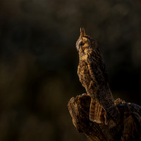Long Eared Owl At Sunset